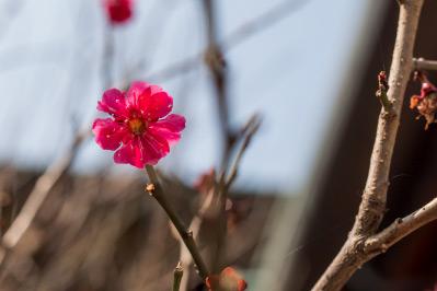 梅がきれいな花をつける時期です。